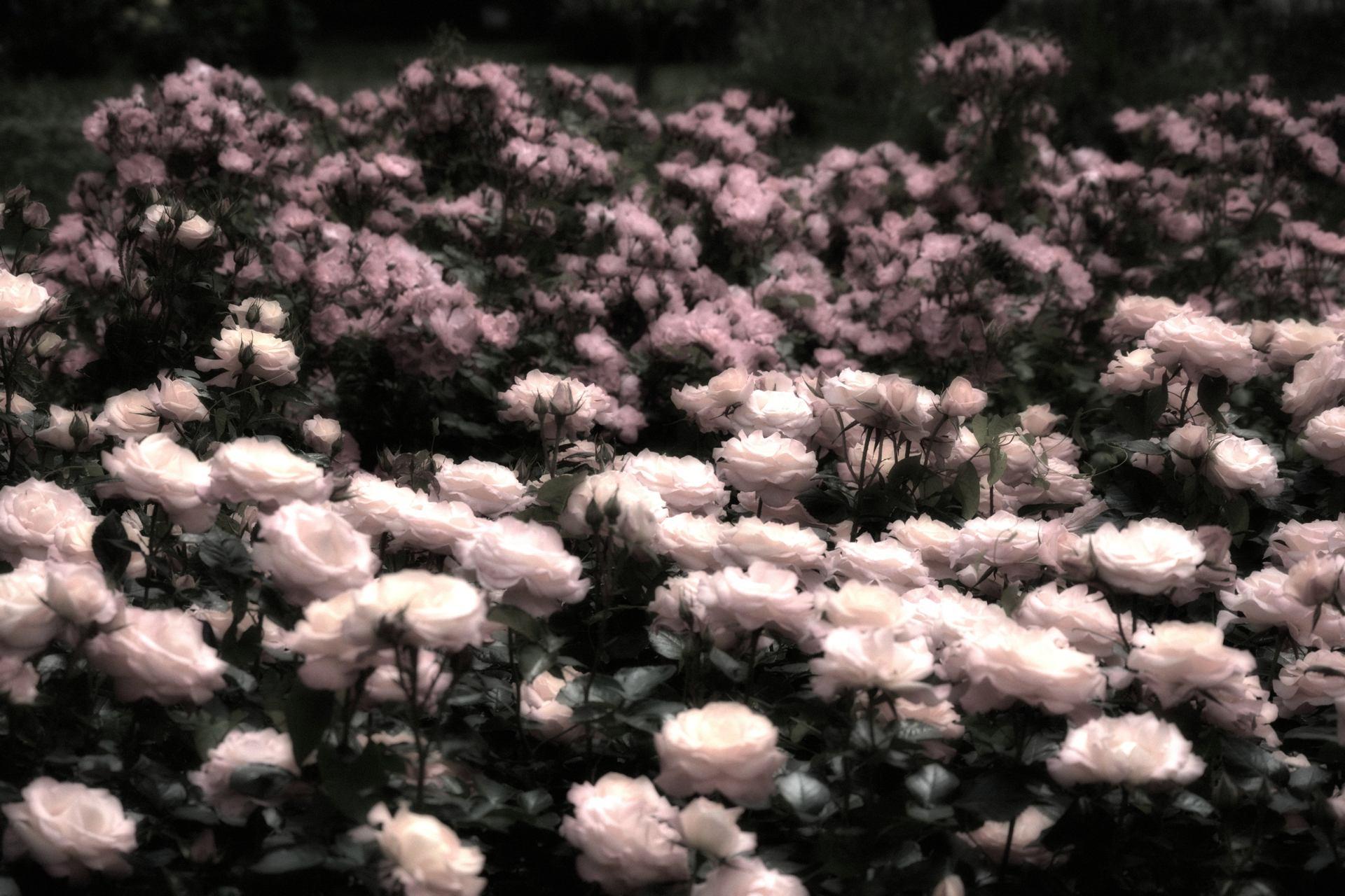 Jardin de roses...