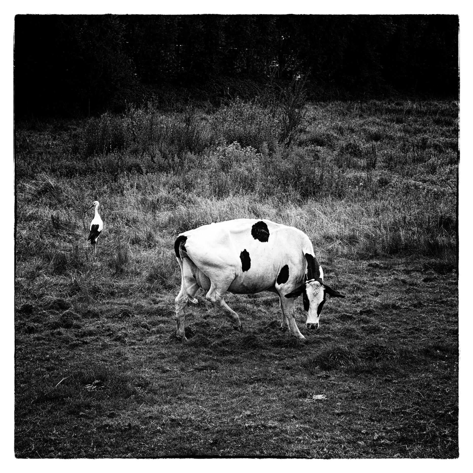 La vache et la cigogne