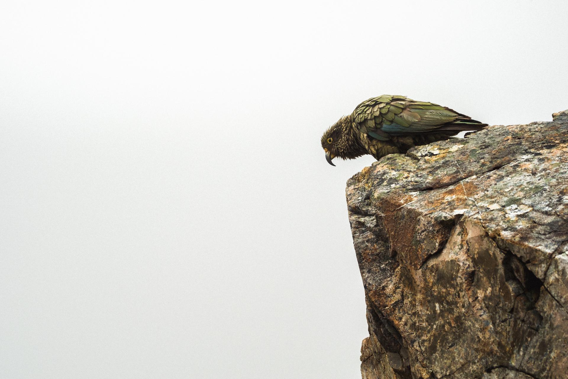 Kea du rocher