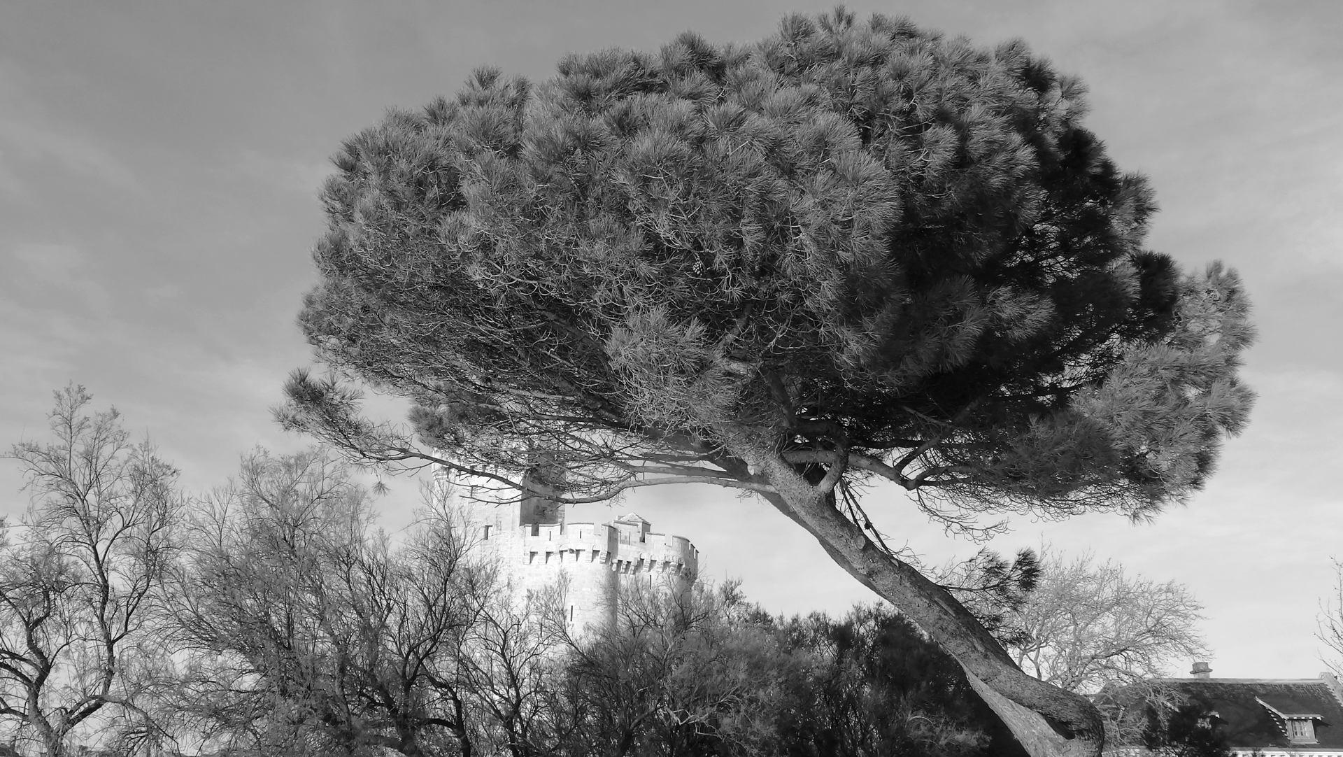 Le pin à la tour