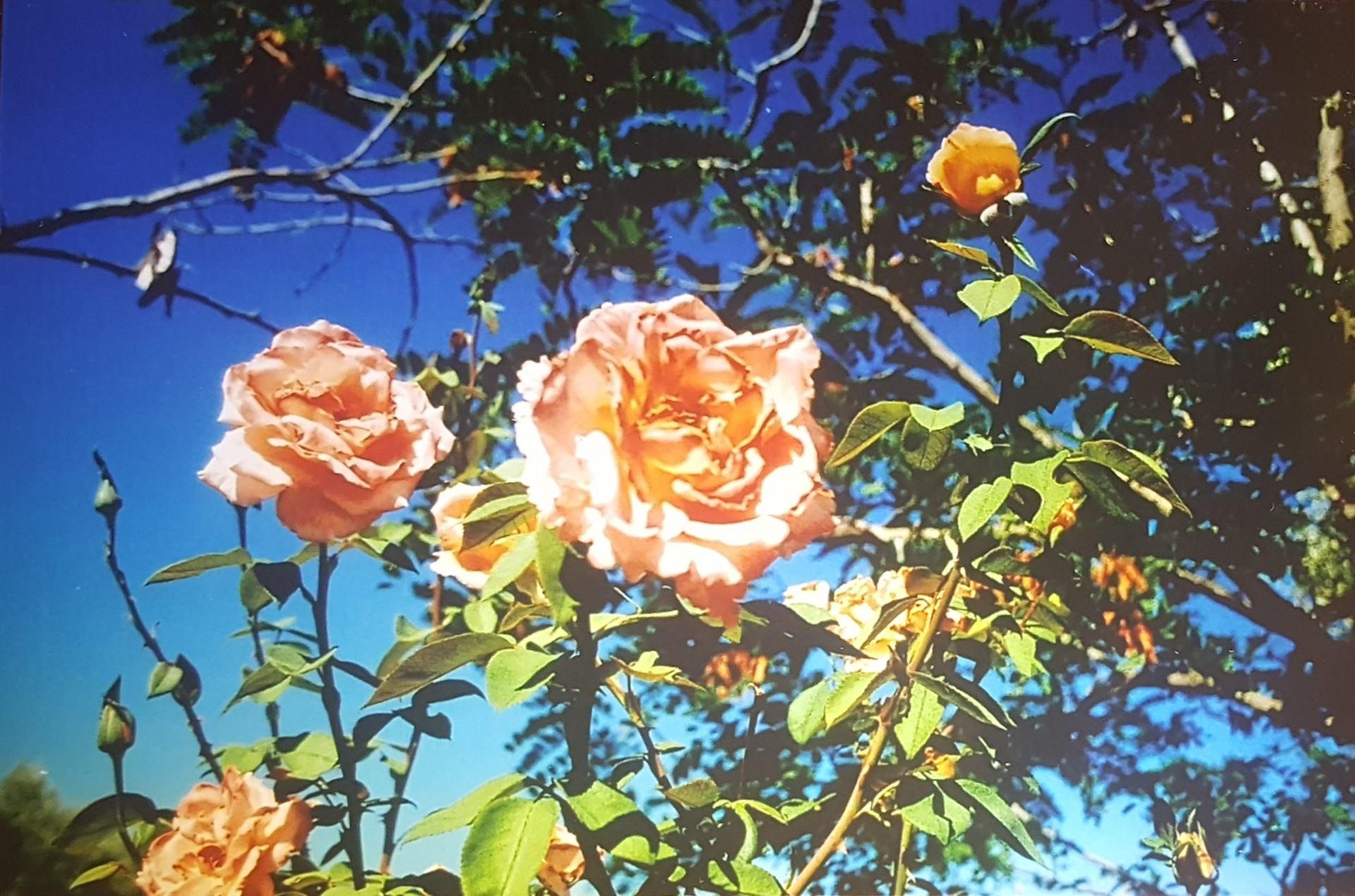 Rosae rosarum