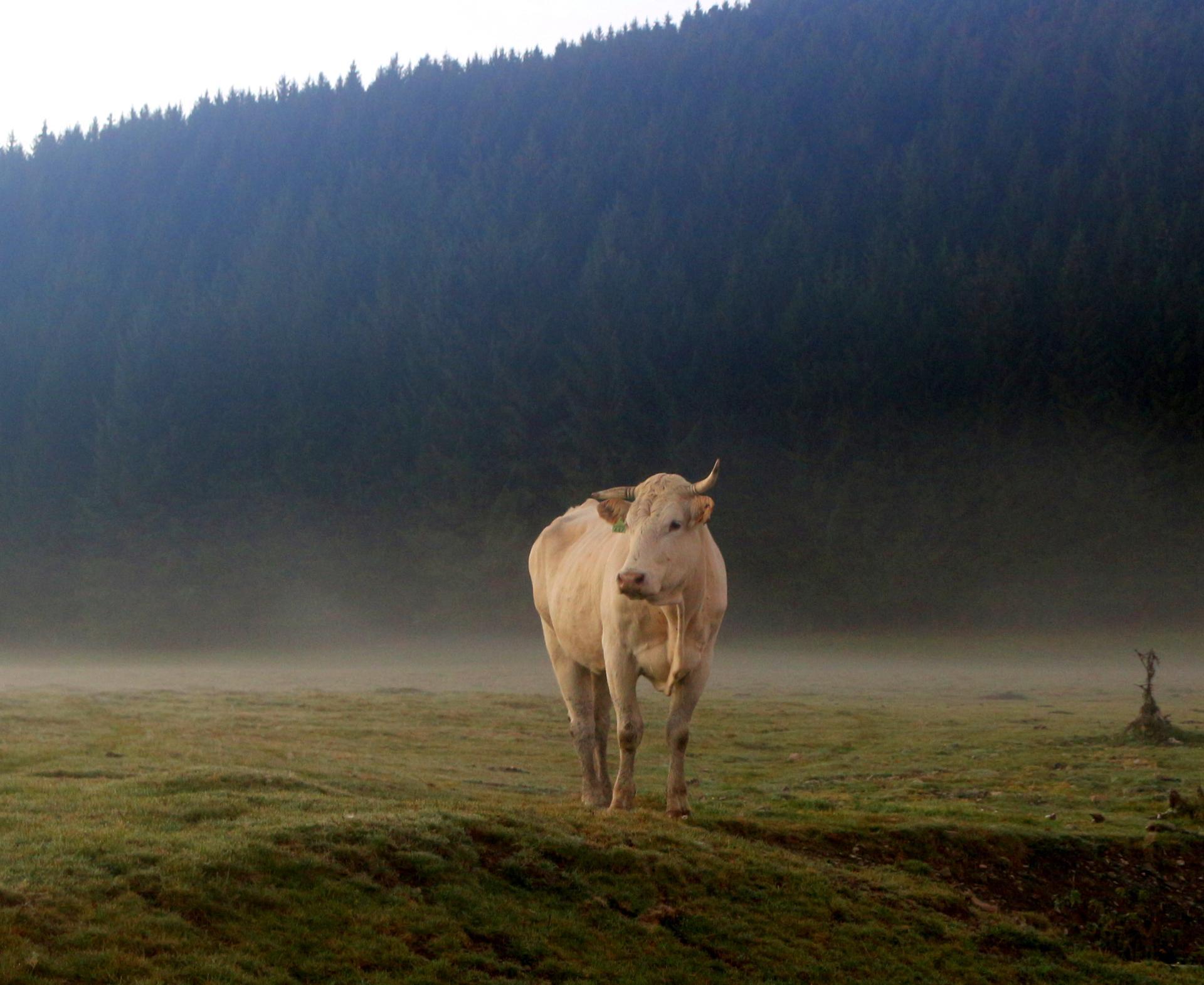 La vache dans la brume ....