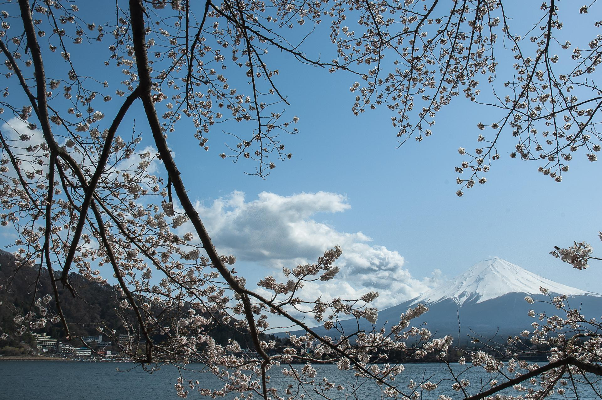 Fuji san et sakura