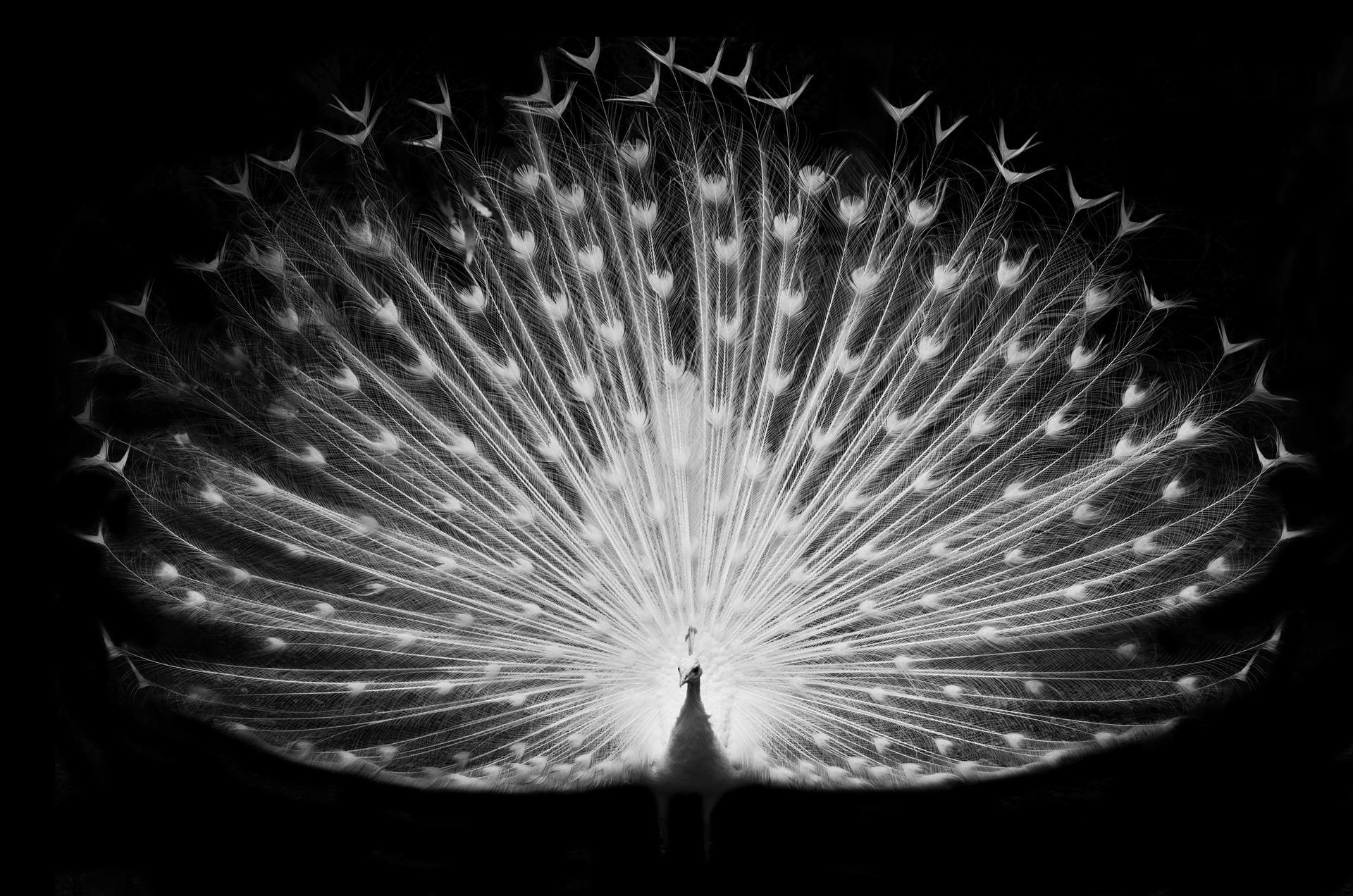 Le Paon Qui Fait La Roue paon blanc sur fond noir in contest animaux   ark. us