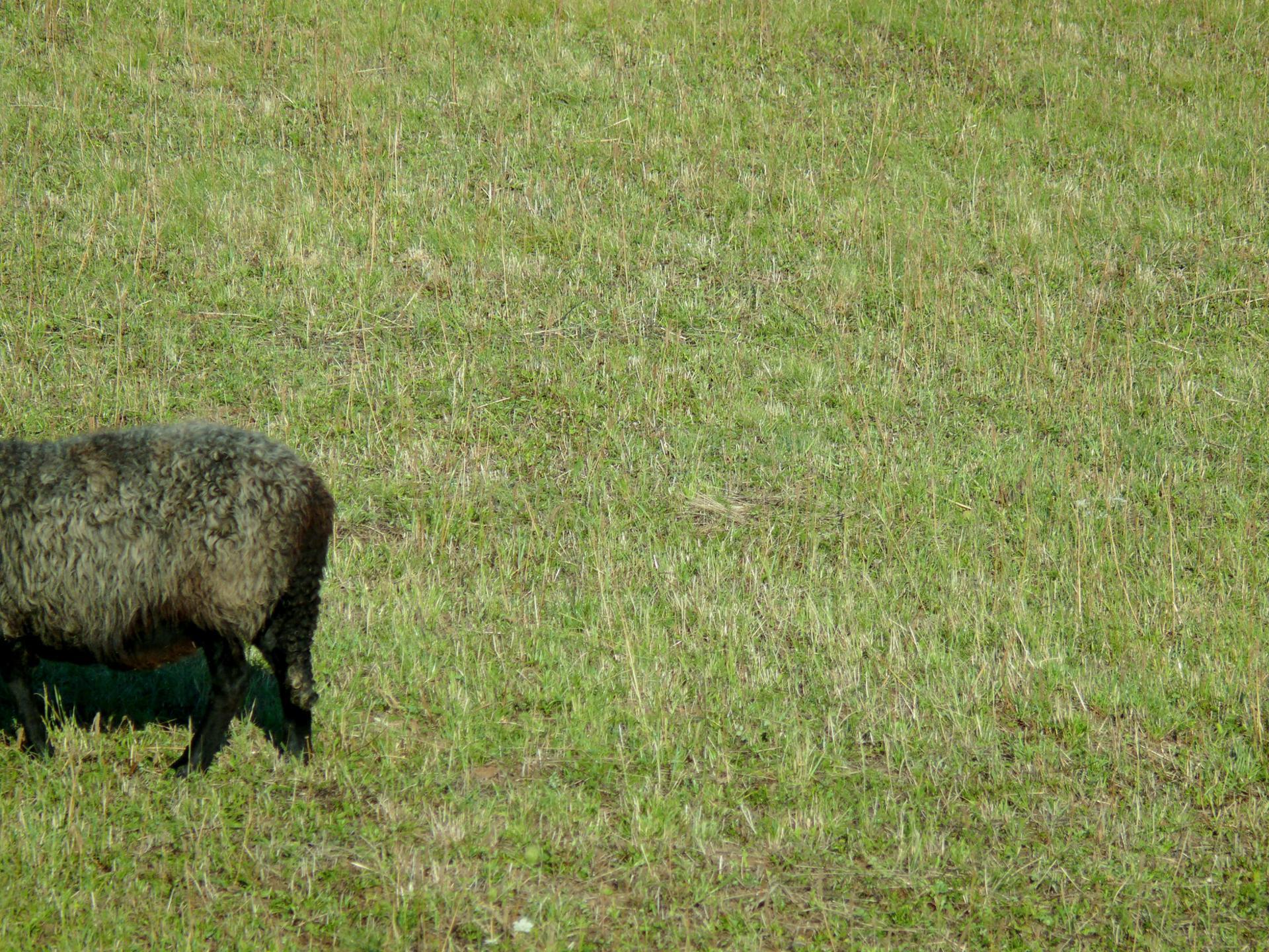 mouton fuyant !