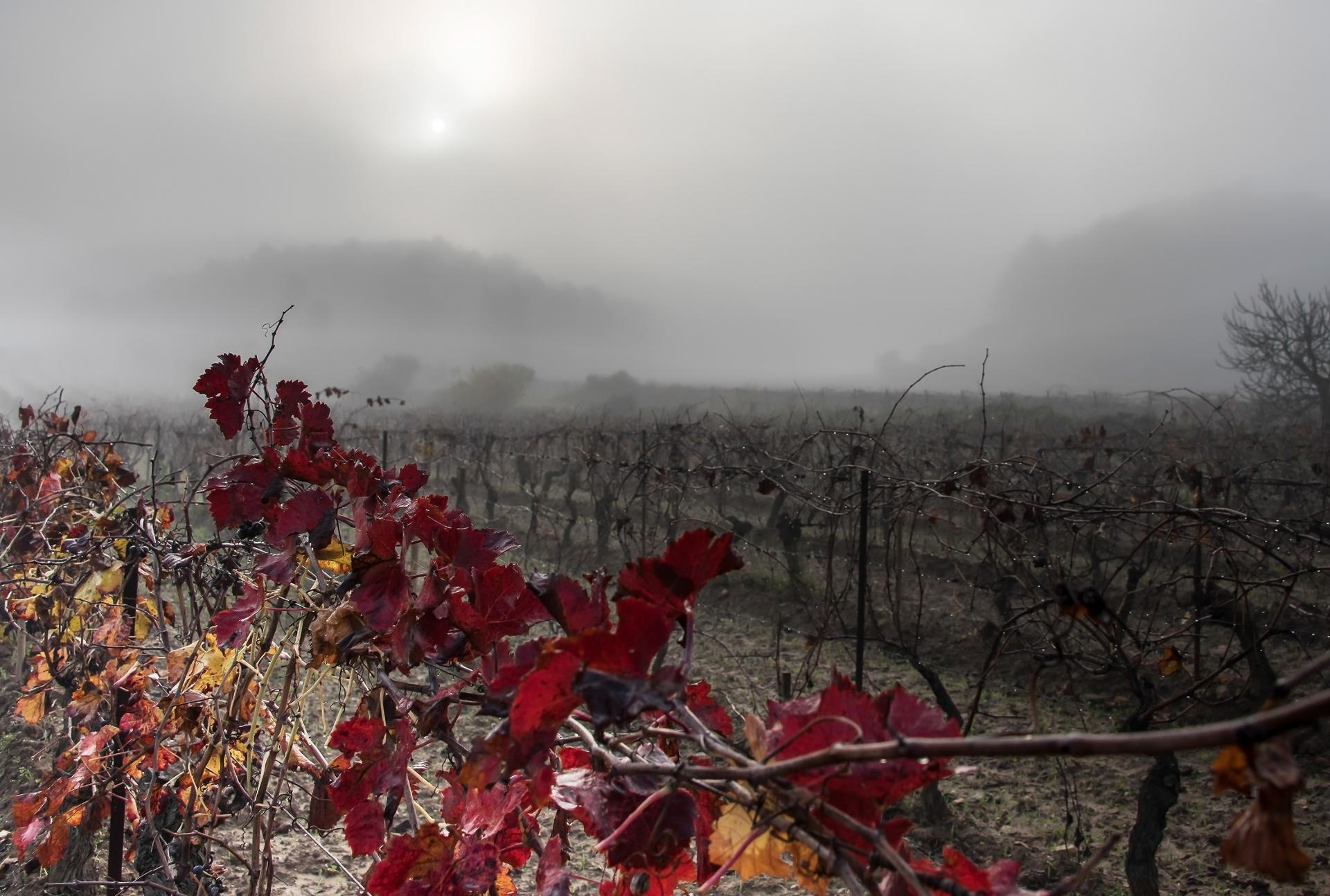 Vignes dans la brume