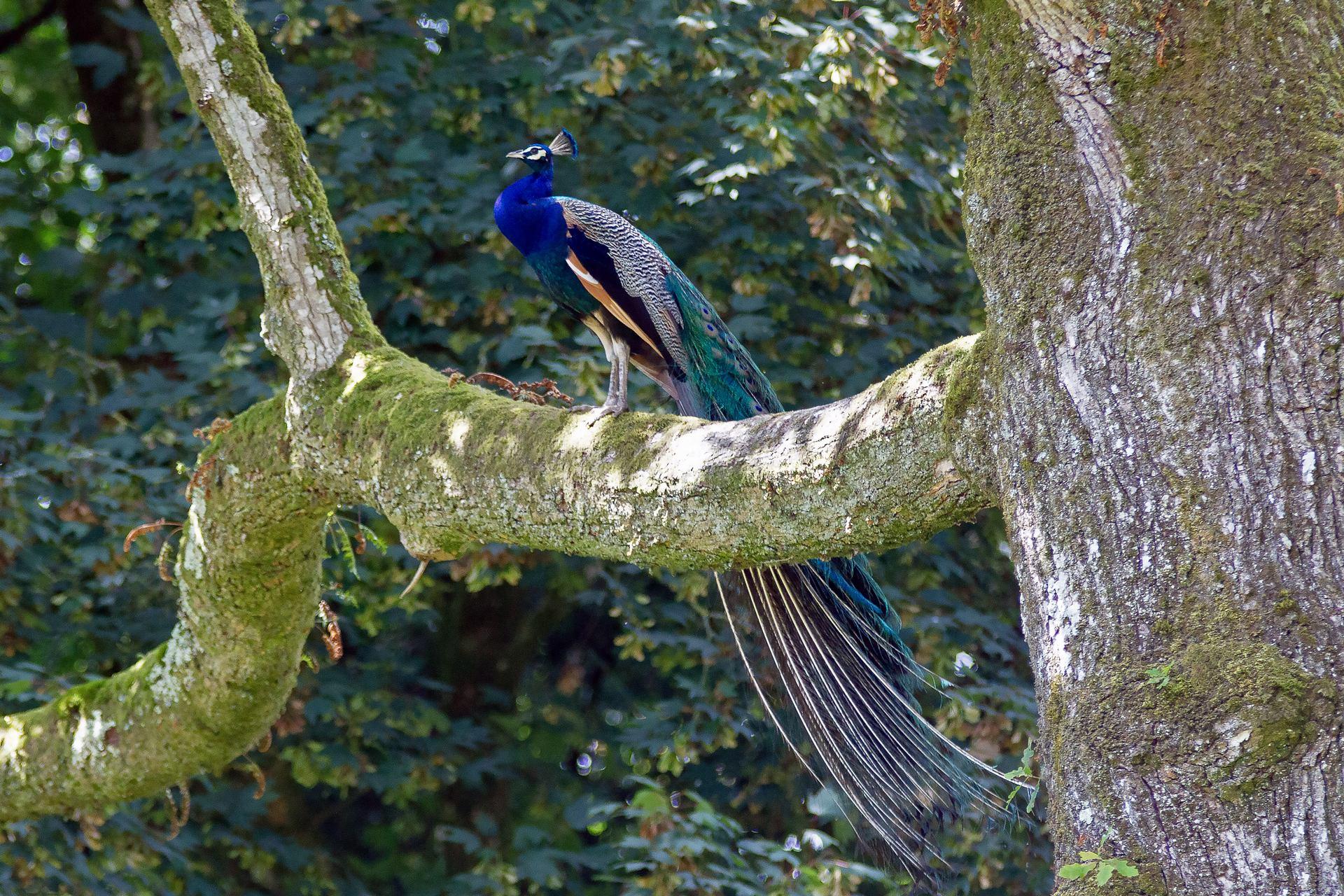 Un Paon sur un arbre perché