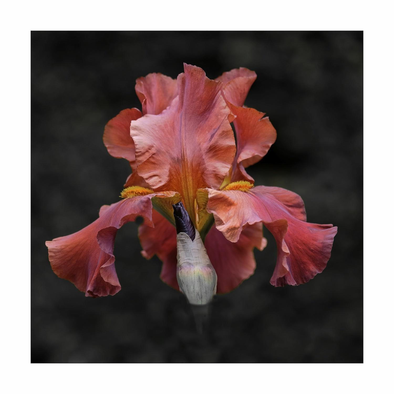Les Iris de Bagatelle 5
