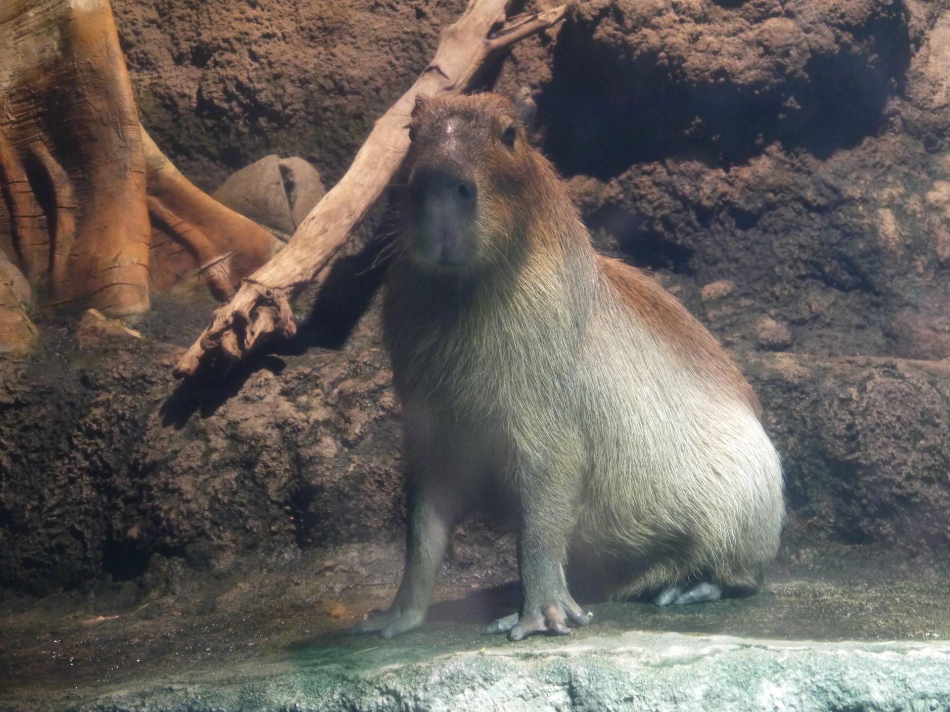 Kapibara San ??